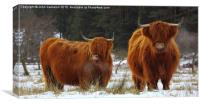 Hardy Highlanders., Canvas Print