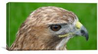 Red-tailed Hawk (Buteo Jamaicensis), Canvas Print
