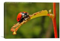 lady bird on young bud, Canvas Print