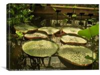 Giant Water Lily., Canvas Print