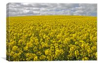 Rapeseed Field in Northumberland, Canvas Print