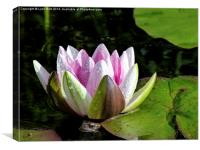 Frog and Water Lily, Canvas Print