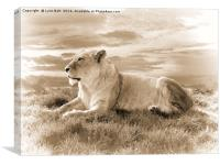 Young Male Lion in Sepia, Canvas Print