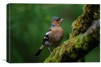 Chaffinch on a branch, Canvas Print