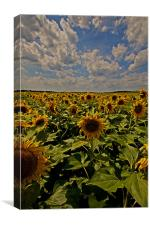 Sunflowers field portrait, Canvas Print