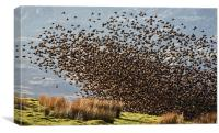 Starlings - Safety in numbers, Canvas Print