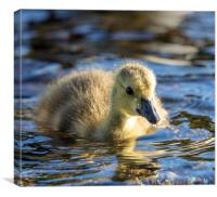 Canadian Geese Gosling, Canvas Print