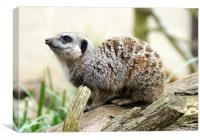 Meerkat Moments, Canvas Print