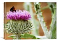 Bee Gathering Thistle, Canvas Print