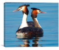 Great Crested Grebes courting., , Canvas Print