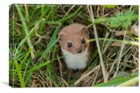Weasel in the grass., Canvas Print