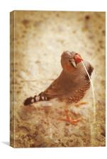 Zebra Finch builder, Canvas Print
