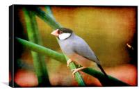 Java Sparrow, Canvas Print
