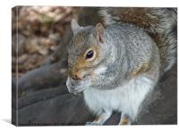 Squirrel eating his nuts, Canvas Print