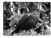 Blackbird in black and white, Canvas Print