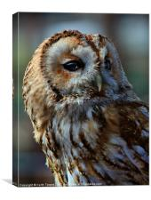 Tawny Owl - Strix Aluco Canvas & Prints, Canvas Print