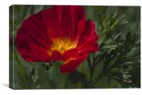 Red and Yellow Poppy, Canvas Print