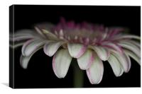 Pink And White Gerbera 3, Canvas Print