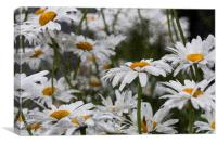 Oxeye Daisies Textured, Canvas Print