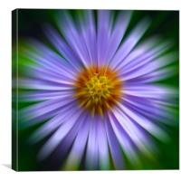 Aster Zoom, Canvas Print