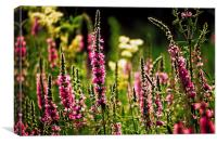 Purple Loosestrife, Canvas Print