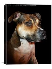Megan Staffordshire Bull Terrier, Canvas Print