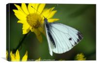 cabbage white, Canvas Print