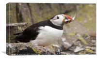 Puffin with catch, Canvas Print