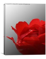 Red rose on a black and white background, Canvas Print