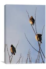 Waxwings, Canvas Print