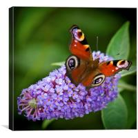 Peacock Butterfly on Buddleia., Canvas Print