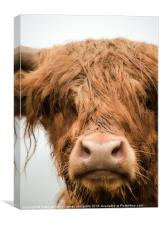 Highland Cow, Bad Hair Day, Canvas Print