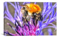 1st Bee of Summer, Canvas Print
