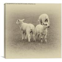 Three little lambs, Canvas Print