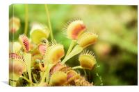 Venus Fly Trap, Canvas Print