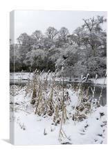 Bullrushes in the snow, Canvas Print