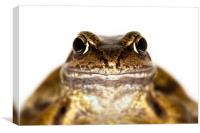 Portrait of the Common Frog, Canvas Print