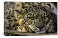 Snow Leopard - Not Getting Up., Canvas Print