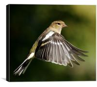 Chaffinch, Canvas Print