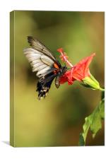 Lows Swallowtail, Canvas Print