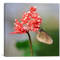 Spotted Black Crow Butterfly, Canvas Print