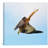 Red Kite Diving, Canvas Print