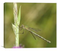 Damselfly on a blade of grass, Canvas Print