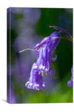 Isolated Bluebell, Canvas Print