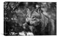 Eurasian wolf (Canis lupus lupus), Canvas Print
