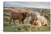 Highland calf with his mother, Canvas Print