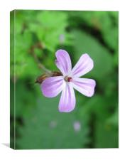 Herb Robert flower, Canvas Print