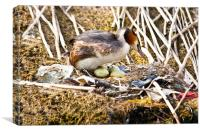 Nesting Crested Grebe, Canvas Print