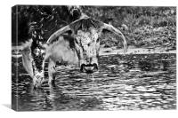 Long horned cow in black and white , Canvas Print