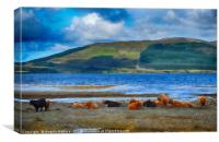 Highland Cattle on the shore                    , Canvas Print
